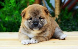 Какого пола будет ваша будущая собака?